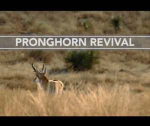 pronghorn-revival